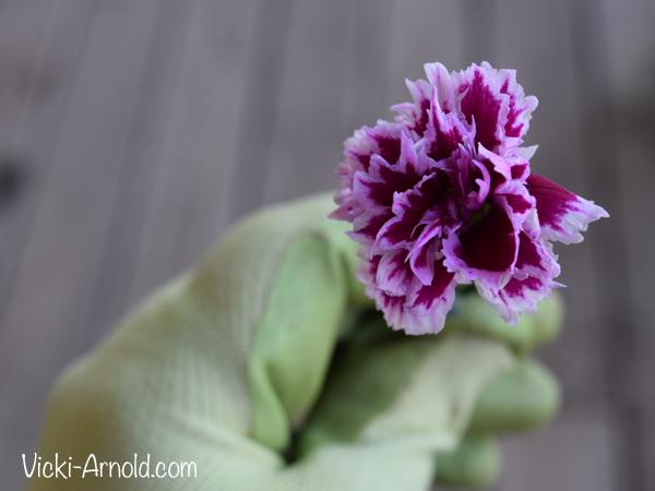 Dianthus bloom - Vicki-Arnold.com